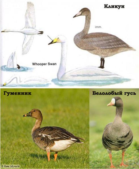 Гусь и утка — отличия: как выглядят, в чем разница, основные признаки