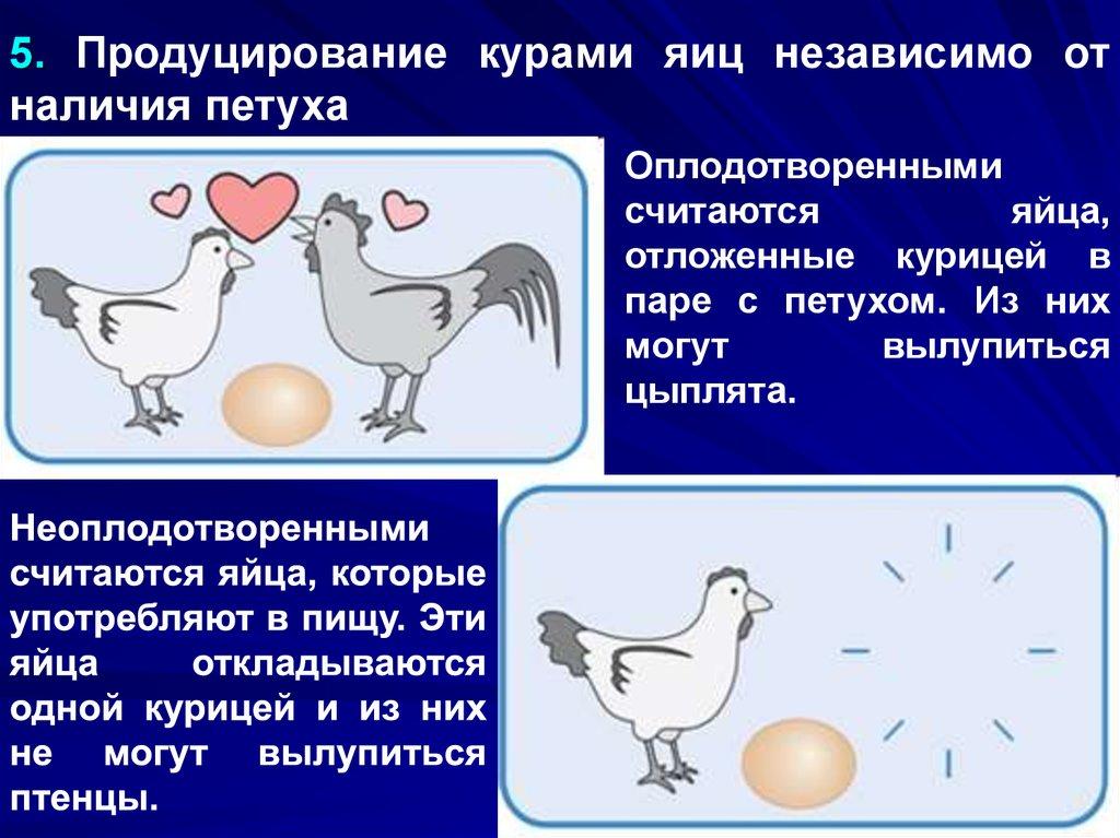 Несут ли куры яйца без петуха? нужен ли несушкам самец в курятник?