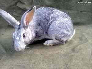 Советская шиншилла: обзор универсальной породы кроликов