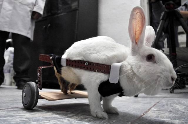 У кролика отказали задние лапы: что делать и в чем причина?