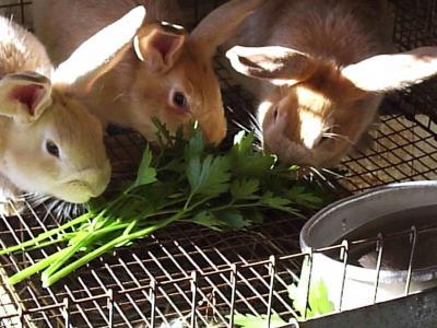 Какую траву можно давать кроликам декоративным и карликовым?