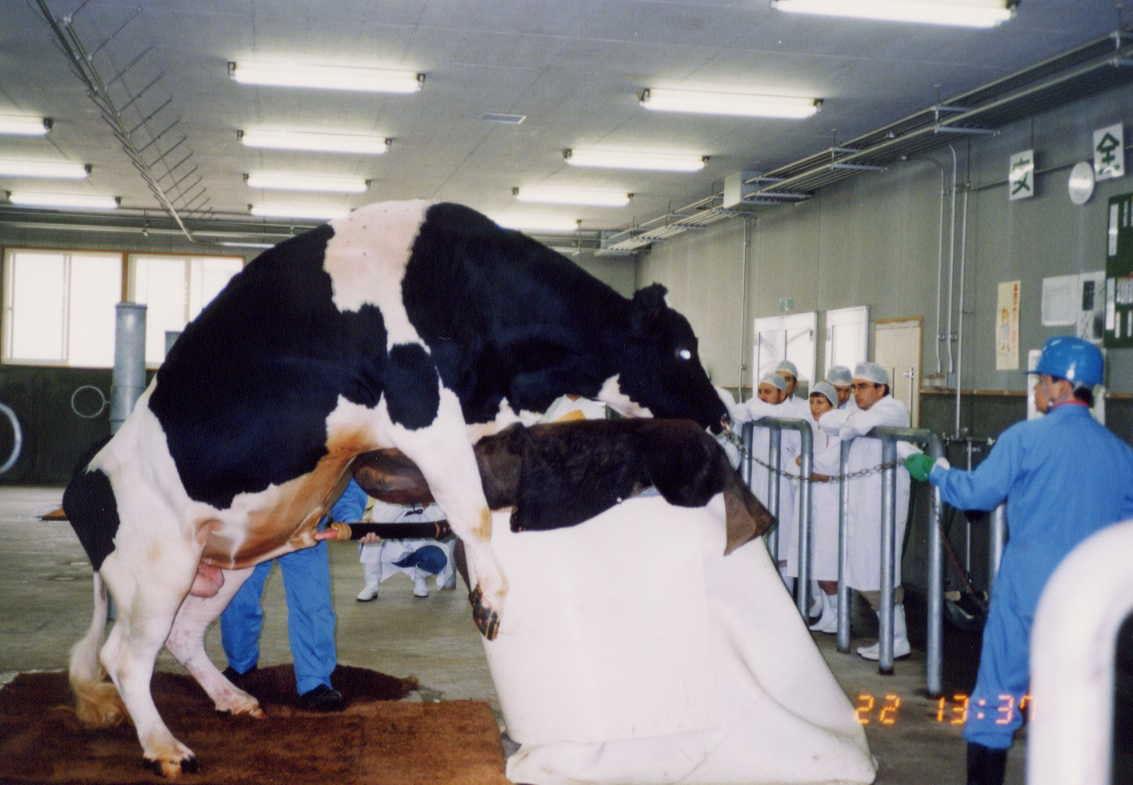 Осеменение коров: искусственное в домашних условиях, быком