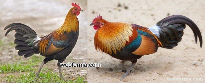 Дикая курица. куриные птицы дикая курица южной америки