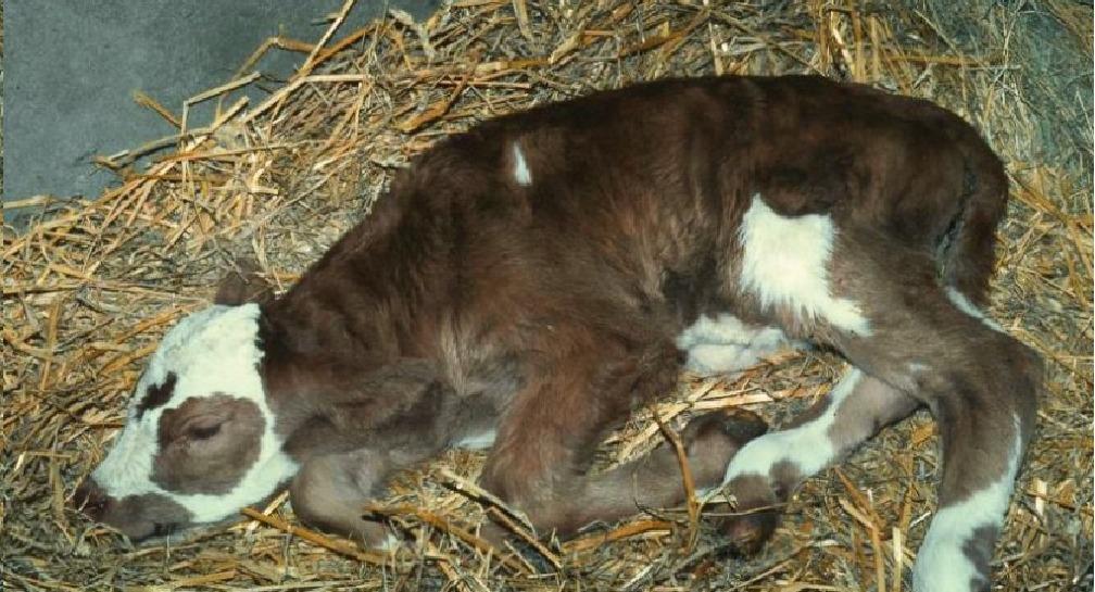 Почему у коровы коричневые выделения. причины появления выделений у коров после отёла