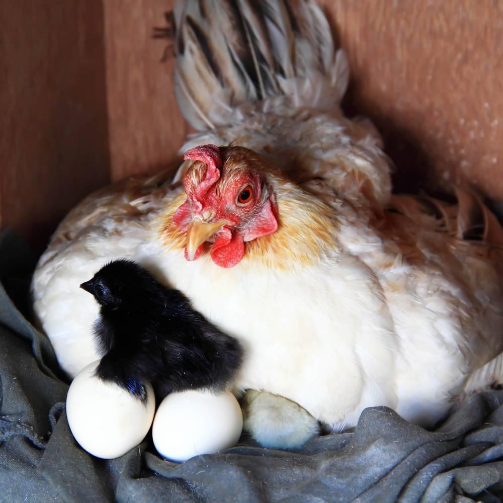 Курица вывела цыплят: что делать дальше, видео и фото