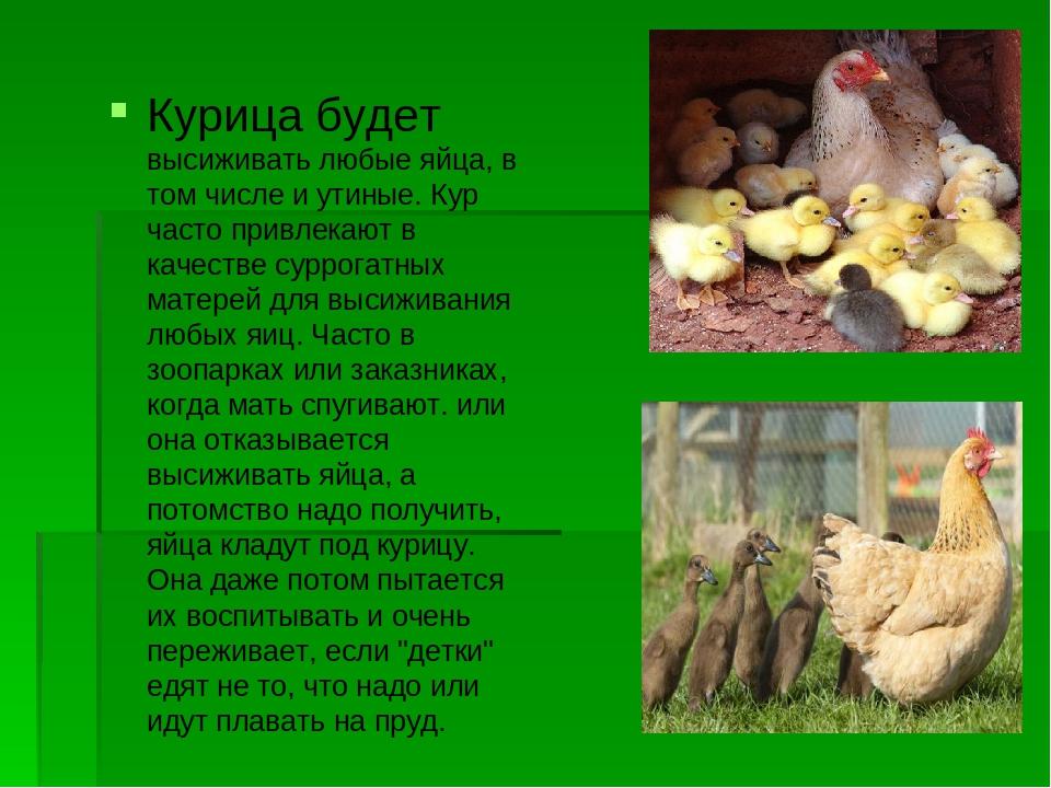 Сколько времени курица высиживает яйца, уход за наседкой