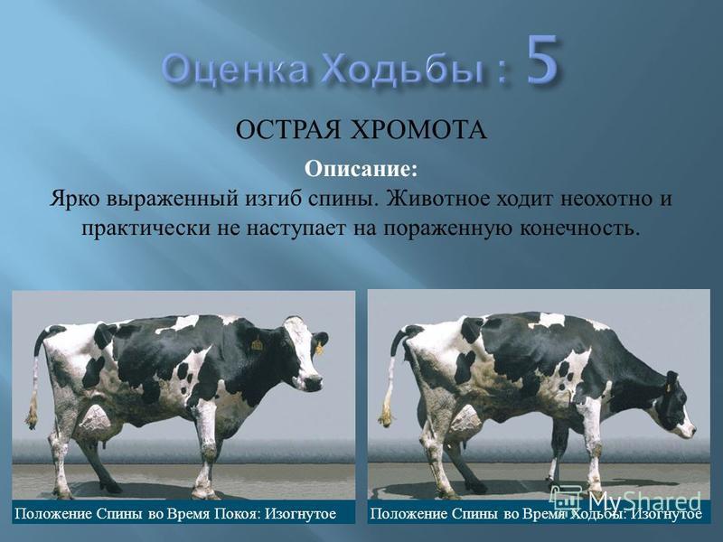 Коровы: болезни ног и копыт