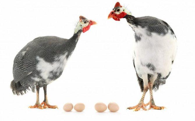 Когда и почему начинают нести яйца цесарки