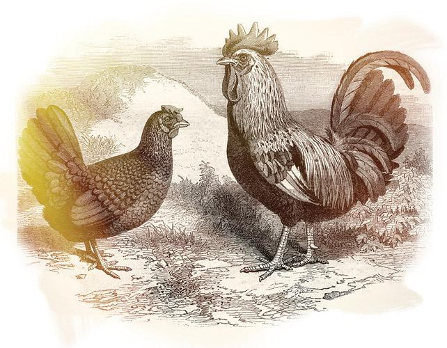 ᐉ дикие куры в природе фото, предки курицы домашней - zoo-mamontenok.ru