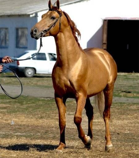 Донская порода лошадей: характеристики, описание и фото