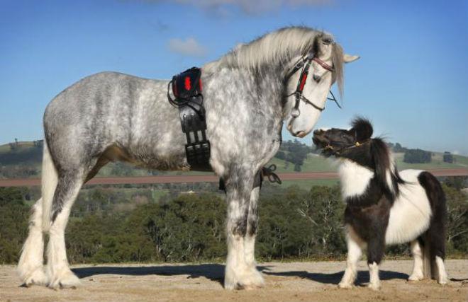 Самые большие, мощные и высокие лошади мира