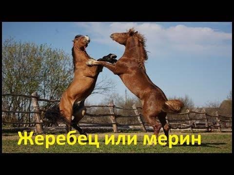 Кастрированный конь: определение, название, причины, особенности ухода и содержания мерина