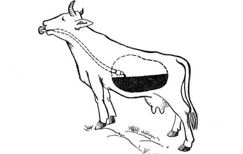 У коровы нет жвачки - что делать, как помочь животному?