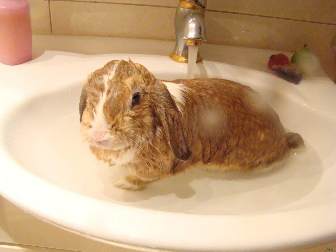Купание декоративных кроликов