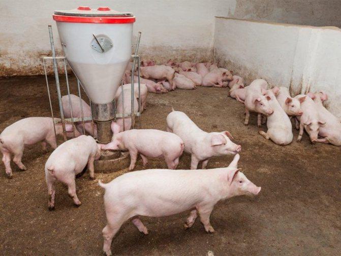 Свиньи породы ландрас: правила выращивания, кормления и размножения