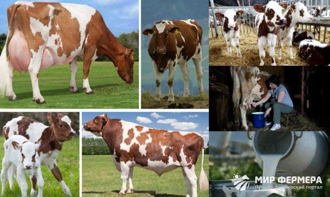 Красная степная порода коров: характеристика, содержание, плюсы, минусы и отзывы