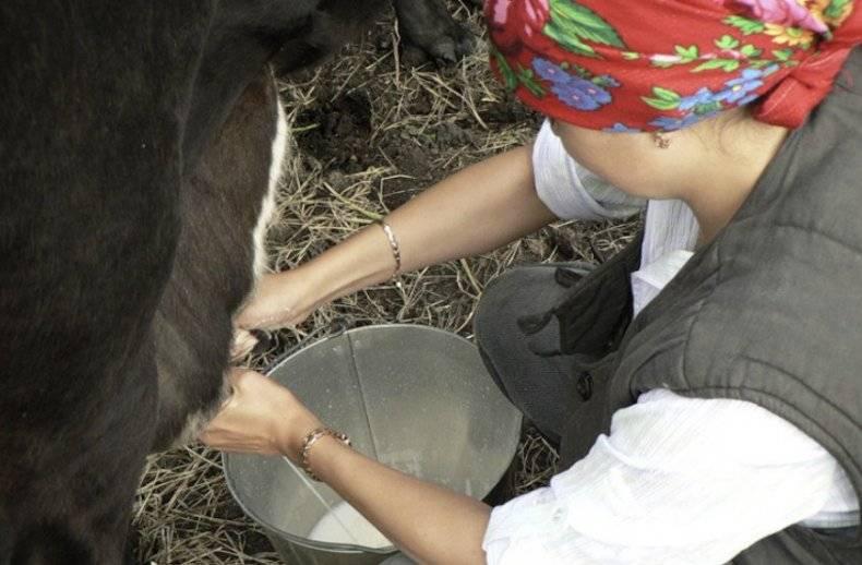 Почему корова долго не встает, и что делать