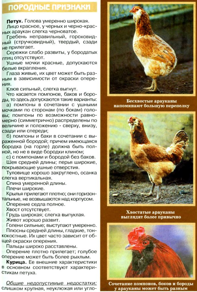 Куры арауканской породы — производители бирюзовых яиц