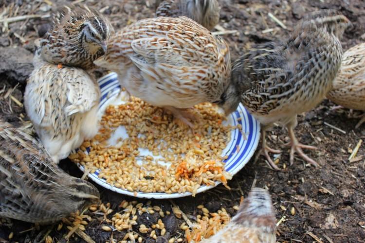 Чем кормить перепелок