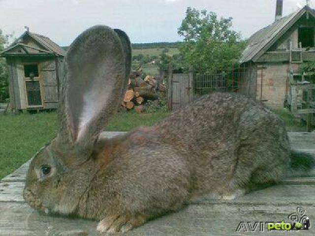 Одной морковкой не накормишь. самые крупные кролики в мире: фото и описание