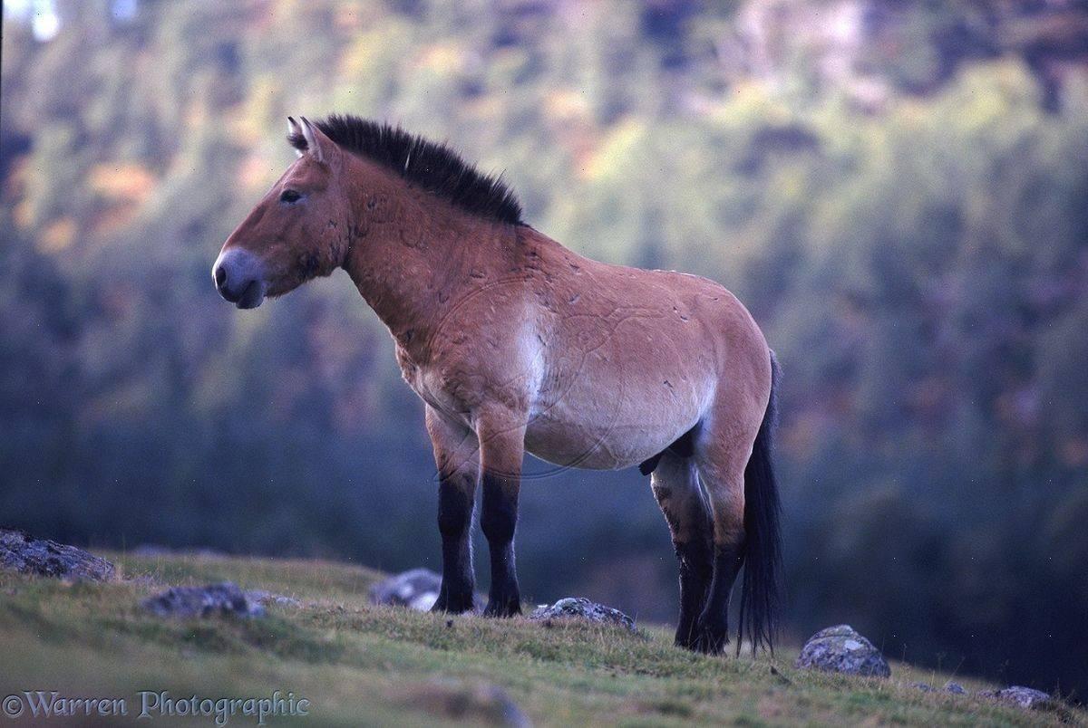 Лошадь пржевальского: описание и характеристики породы