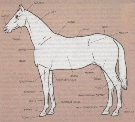 Анатомия лошади — строение скелета, количество костей, череп