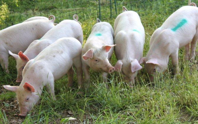 Описание свиней породы ландрас