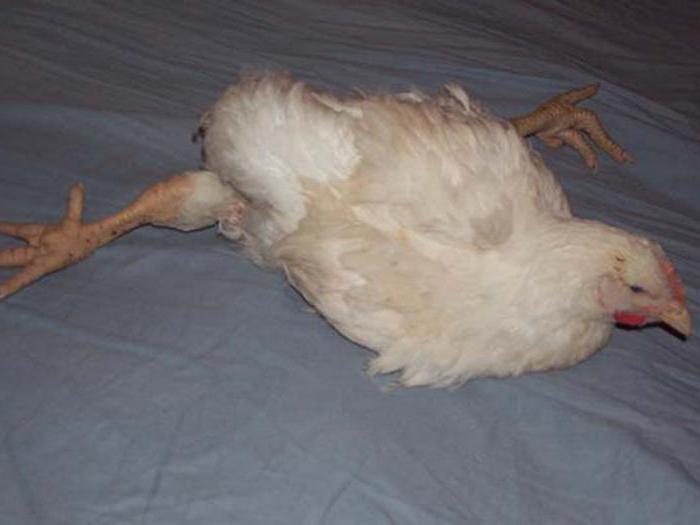 Болезни цыплят бройлеров: симптомы и лечение, как лечить бройлерного цыпленка