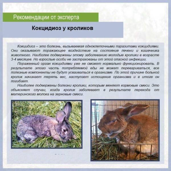 Кокцидиоз у кроликов: симптомы и лечение, профилактика