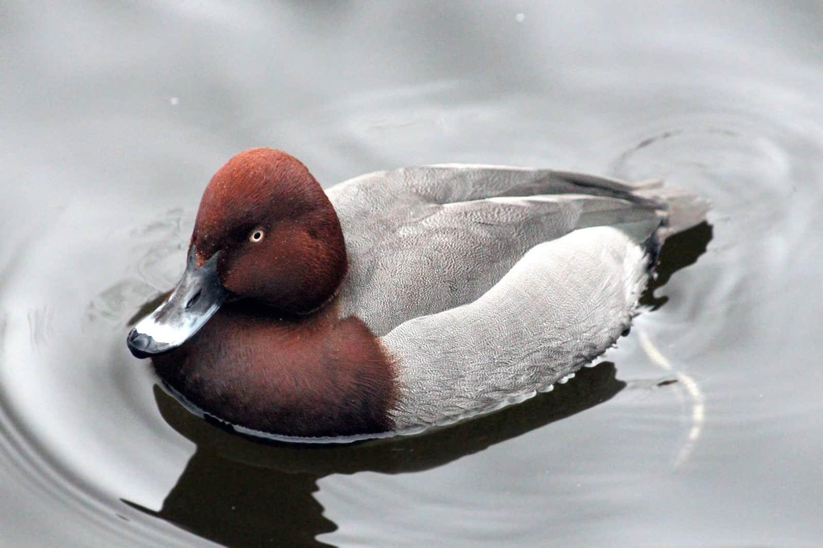 Утка нырок: фото и название видов, как выглядит птица