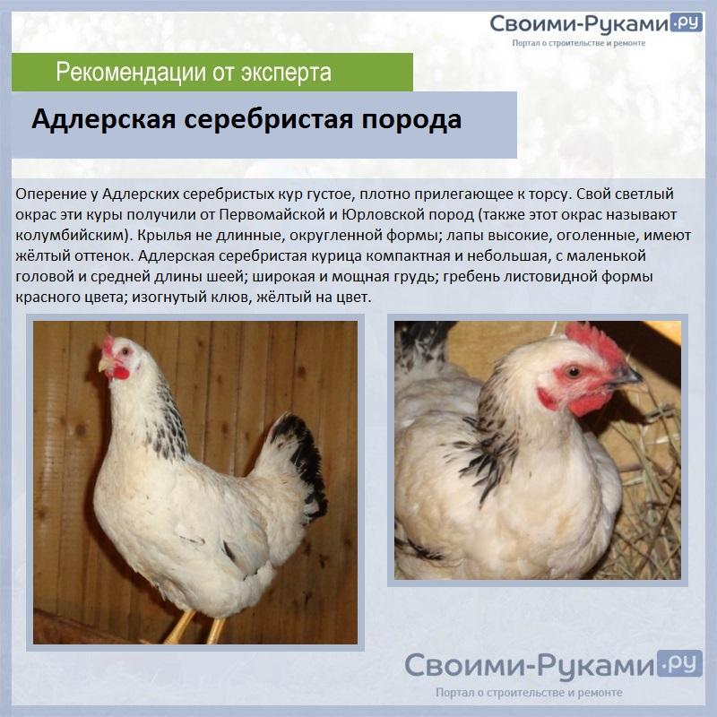 Адлерская серебристая порода кур: описание, характеристика и яйценоскость