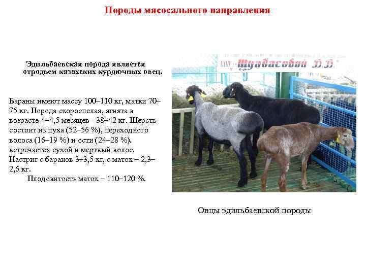 Эдильбаевская порода овец: обзор, продуктивные характеристики