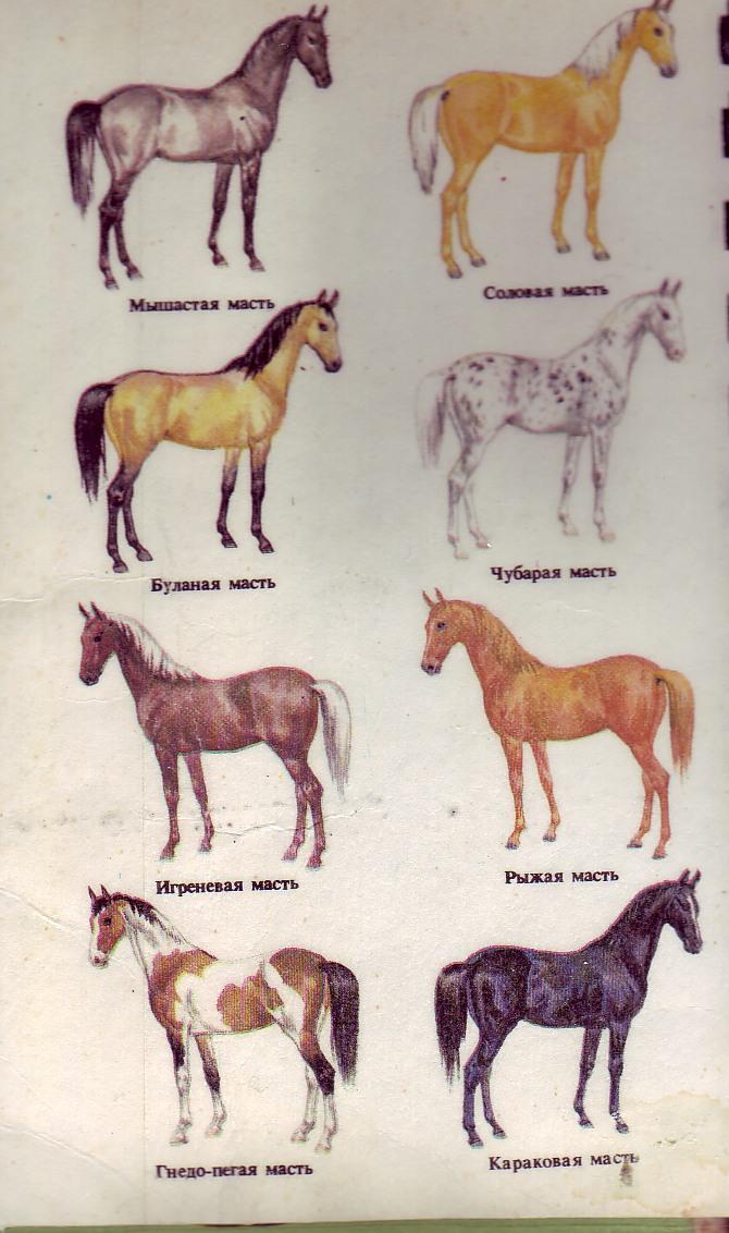 Гнедая масть лошади: описание и фото | мои лошадки