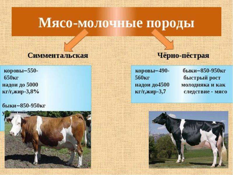 Симментальская порода коров (40 фото): характеристика бычков-симменталов, описание телят-девочек. плюсы и минусы породы. отзывы владельцев