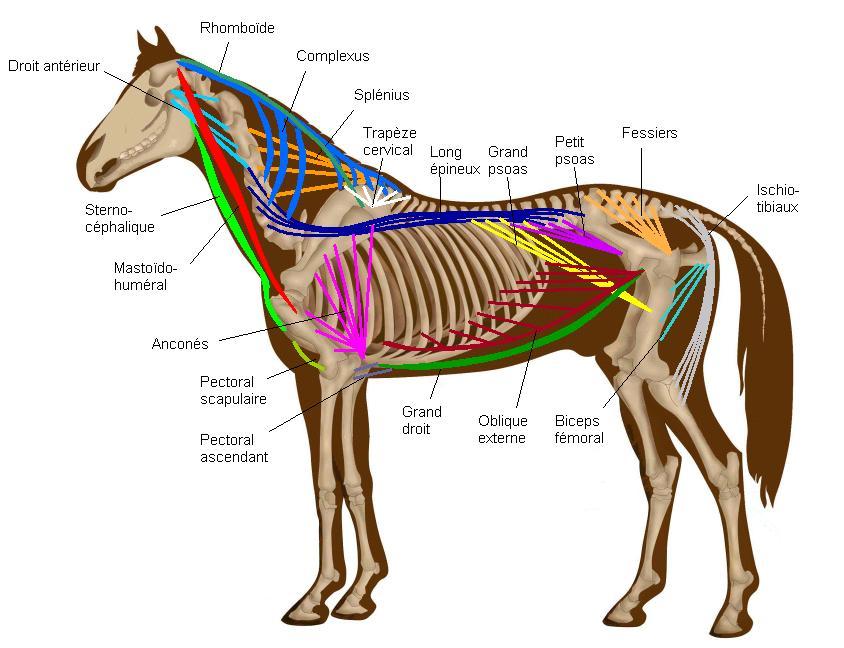Анатомические особенности лошадей