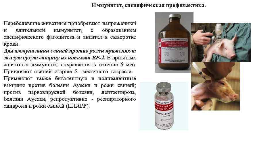 Вакцинация поросят с рождения: график необходимых прививок
