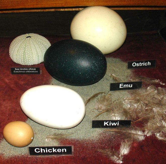 Характеристики яйца страуса: вес страусиного яйца, состав