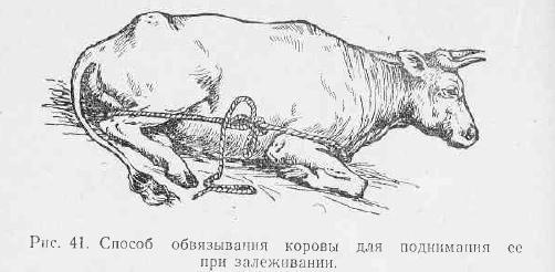 Послеродовой парез у коров: что это такое, чем лечить, как предотвратить