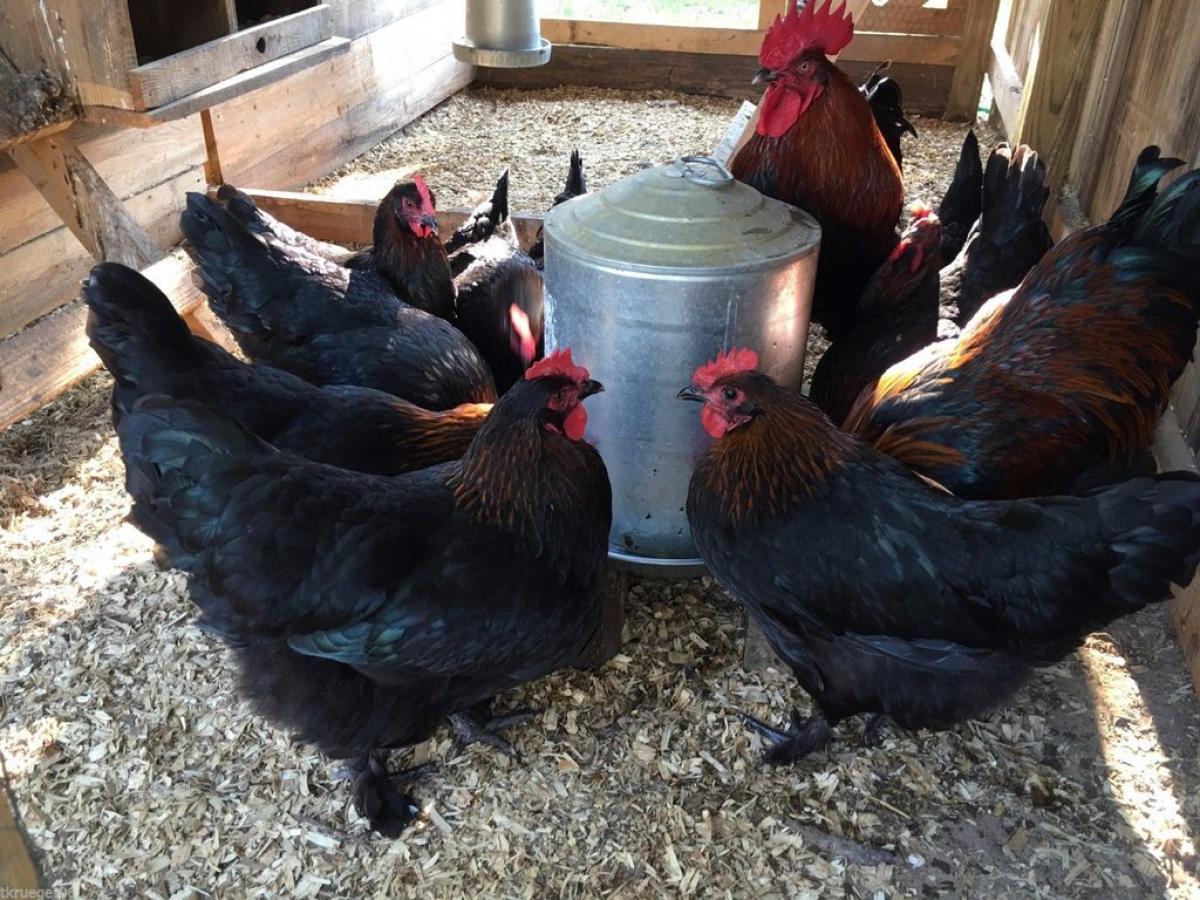 Как определить пол цыпленка: эффективные методы, фото- и видеообзор