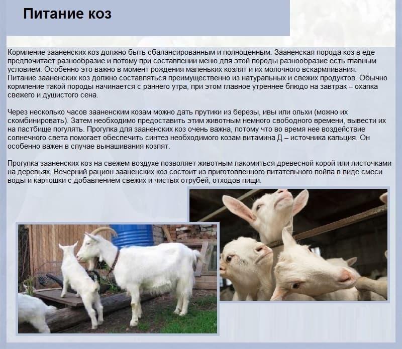 Сколько литров молока дает коза в сутки и как увеличить удой за день 2020