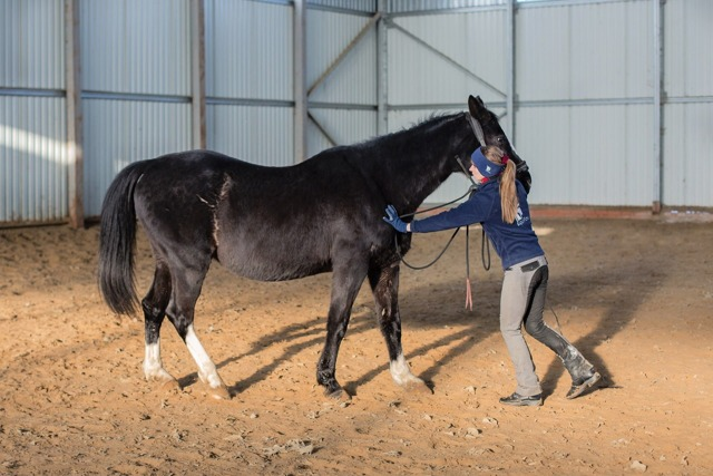 Как приручают лошадей: приручение коня с учетом его природных особенностей