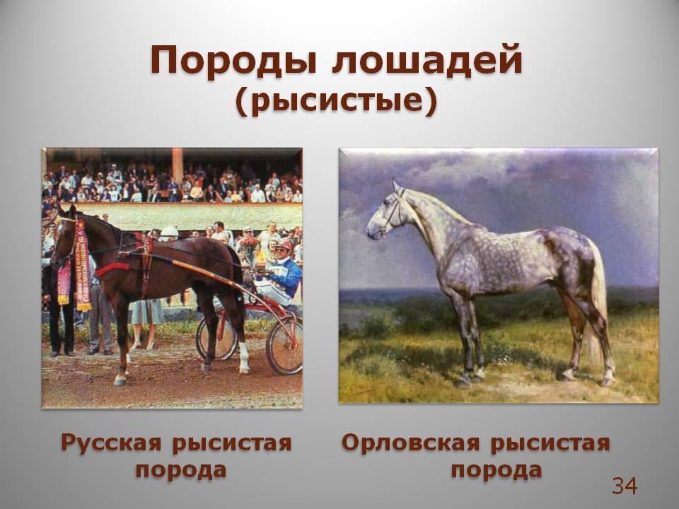 Особенности разведения и содержания русских рысаков