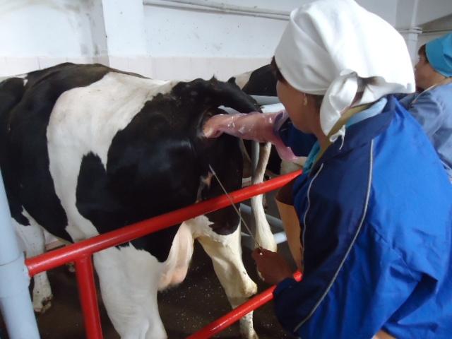 Плюсы и минусы искусственного осеменения коров | плюсы и минусы