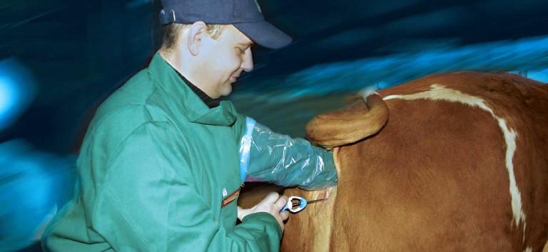 Осеменения коров: методы и процесс