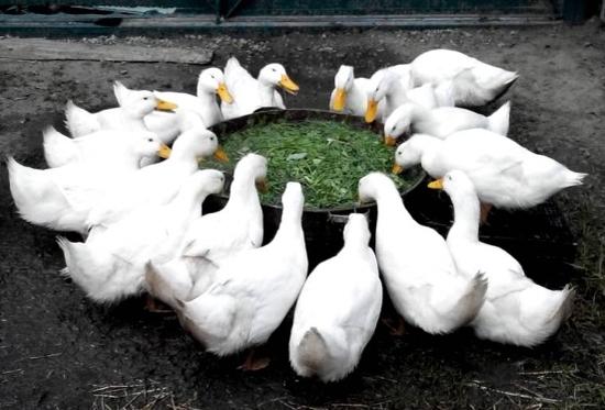 Утка черри - велли: правила содержания птицы в домашних условиях