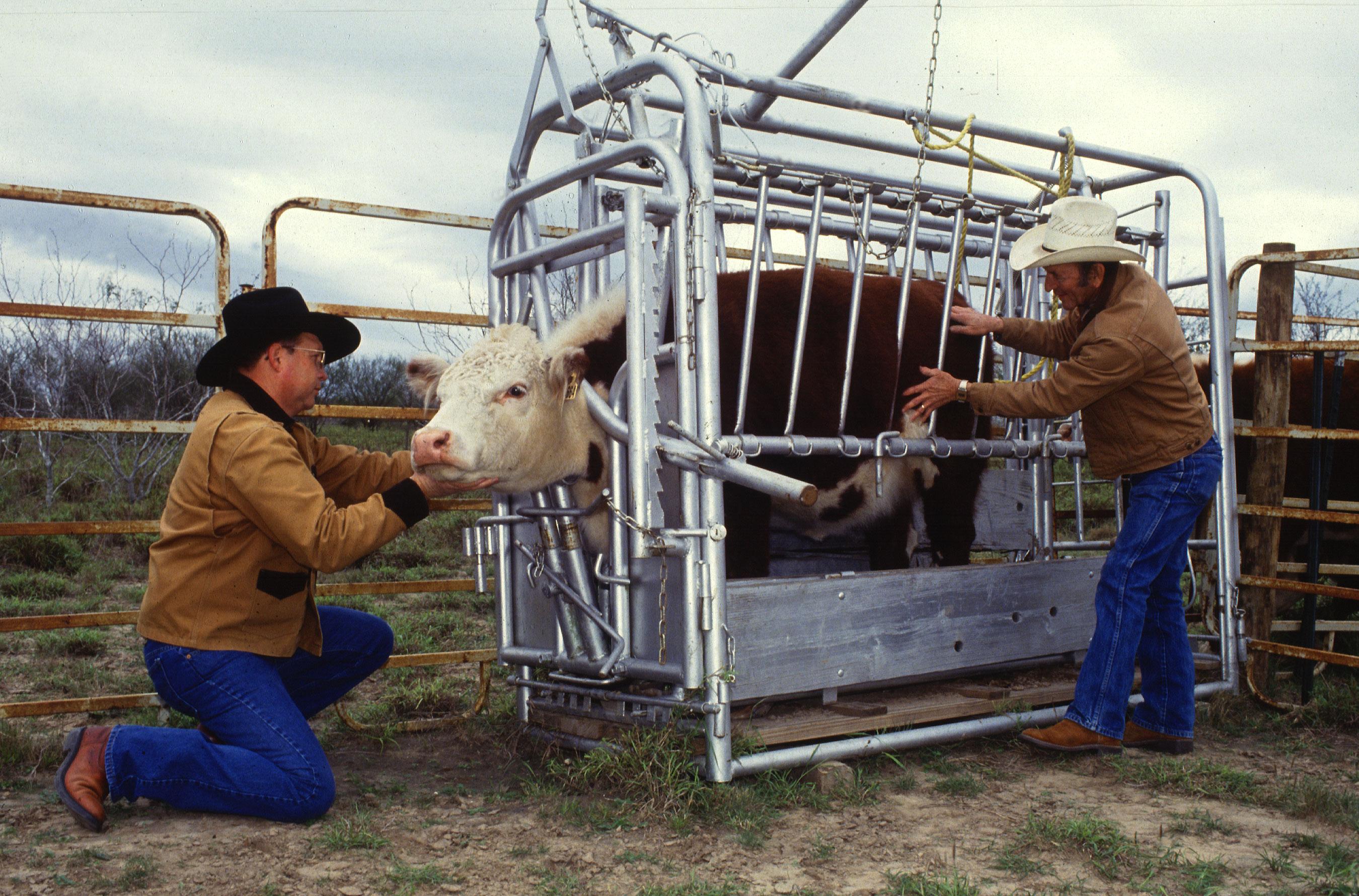 Искусственное осеменение коров: особенности, способы, техника