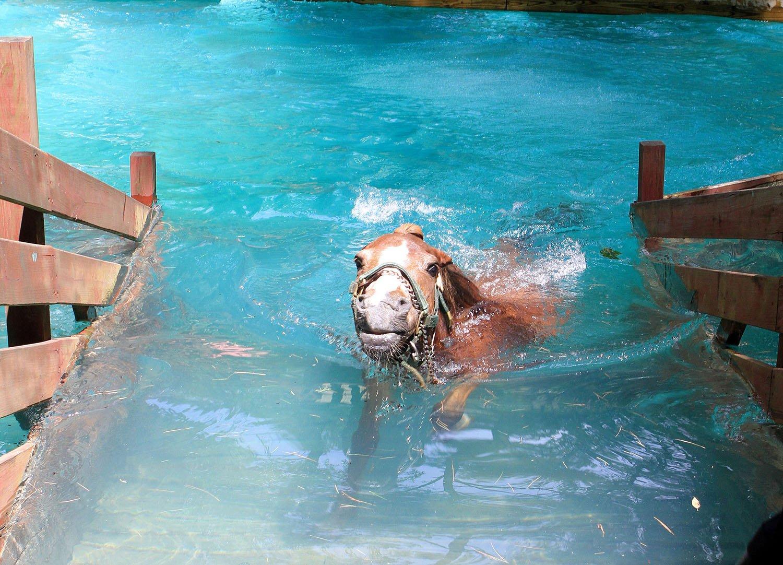 ✅ плавают ли лошади: насколько хорошо и как далеко плавают кони - tehnomir32.ru