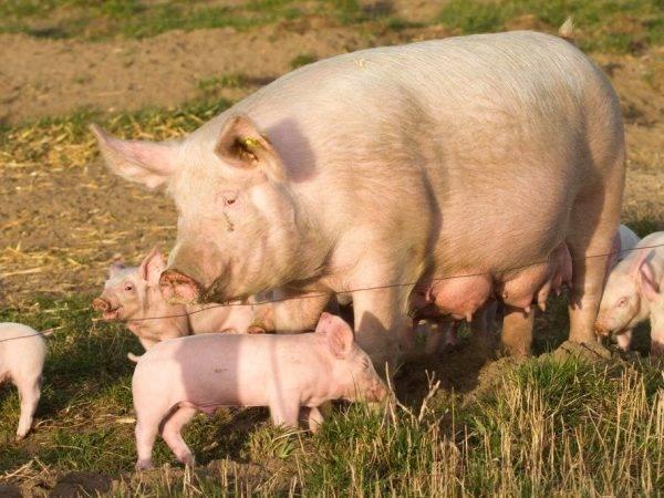 Описание породы свиней венгерская мангалица