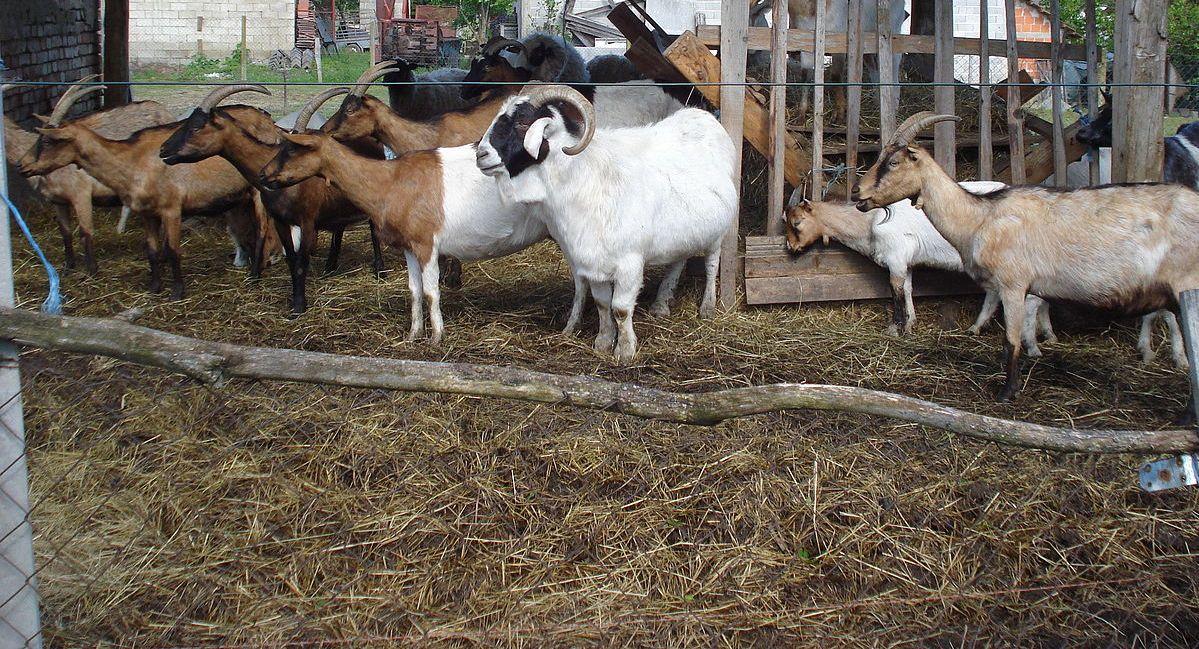 Разведение коз в домашних условиях для начинающих: основы выращивания и случки