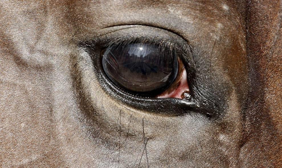 Зрение лошади и особенности глаз.как проверить зрение лошади | мои лошадки